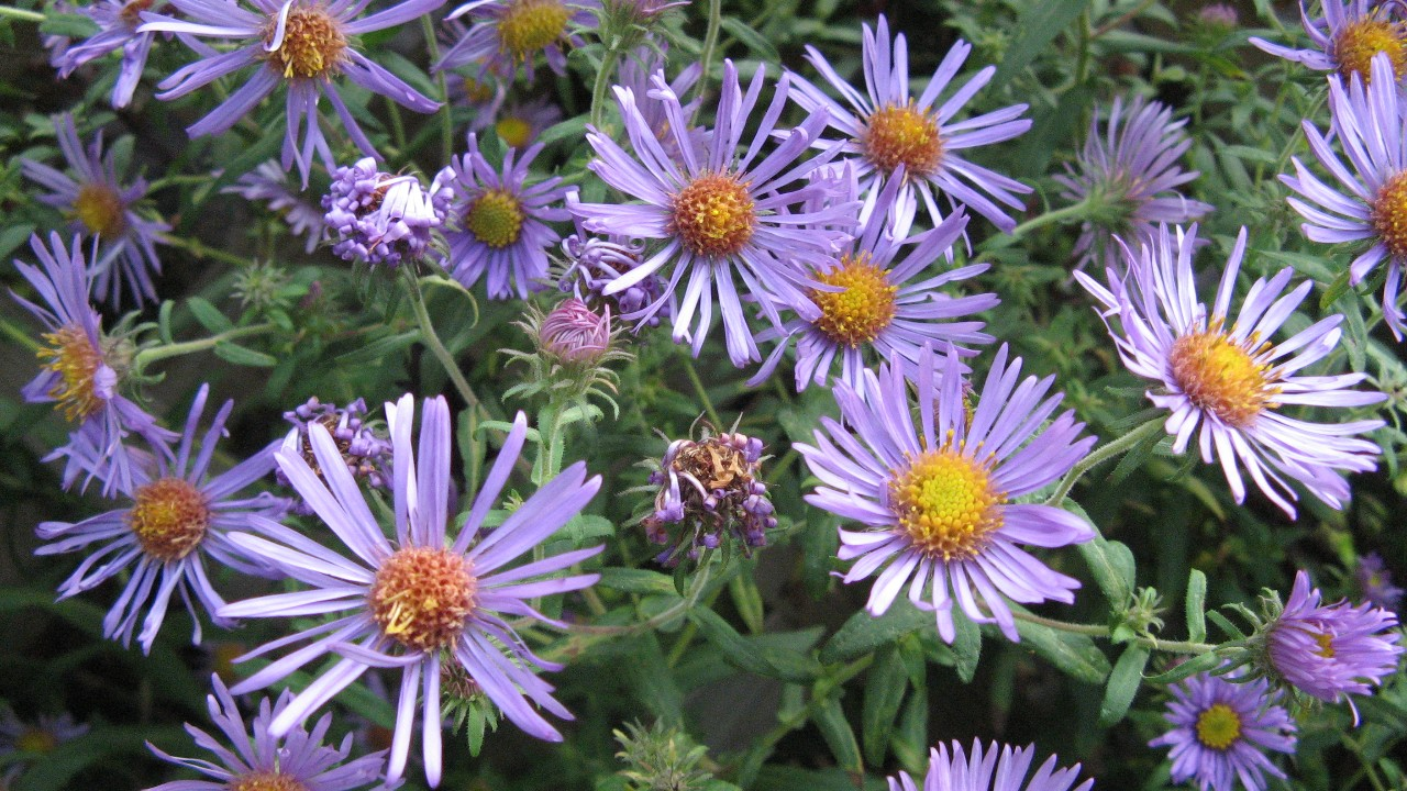 asters new england