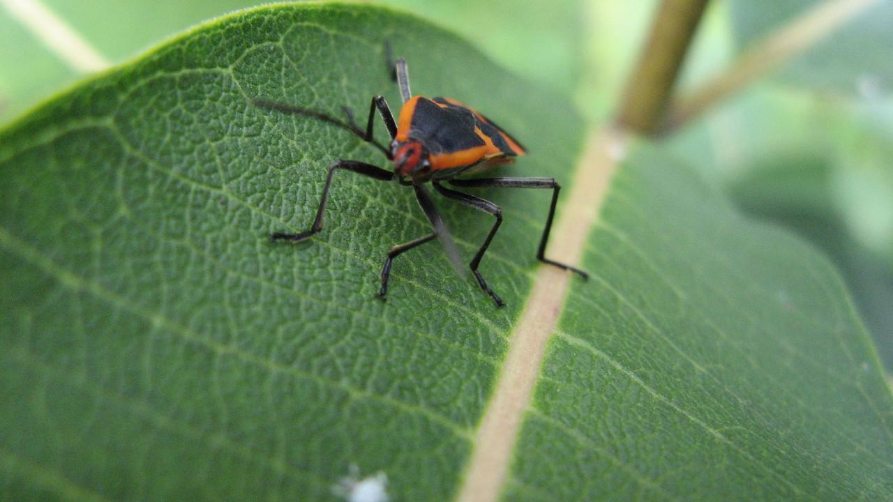 milkweed bug face
