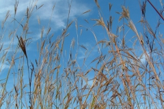 Big bluestem patch h