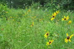 field Bl eyed susans skunks
